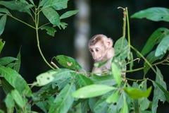 Macaco-Affebaby im Naturwald, Tier in der Natur Stockfoto