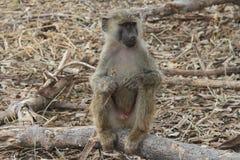 Macaco africano Foto de Stock