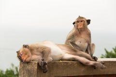 Macaco animal que senta-se no assoalho concreto Imagem de Stock