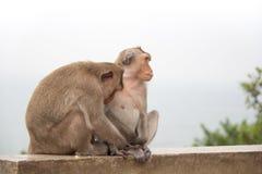 Macaco animal que senta-se no assoalho concreto Imagens de Stock