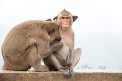 Macaco animal que senta-se no assoalho concreto Imagens de Stock Royalty Free