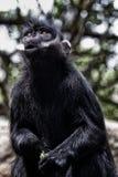 Macaco ansioso da folha imagens de stock