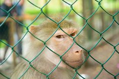 Macaco atrás das barras em um jardim zoológico Imagens de Stock Royalty Free