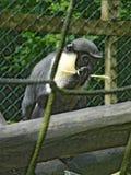 Macaco atrás das cordas Imagens de Stock Royalty Free