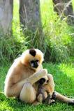 Macaco & bebê de Gibbon (verticais) Fotos de Stock
