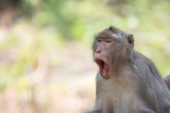 Macaco Bocejo do macaco O macaco vive na natureza Macaco na árvore Foto de Stock