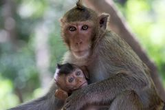 Macaco bonito Foto de Stock