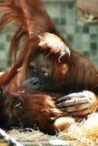 Macaco bonito Imagem de Stock
