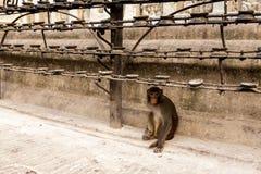 Macaco bonito perto do templo de Swayambhunath - templo do macaco, Kathmandu, Nepal fotografia de stock royalty free