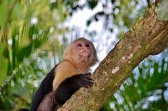 Macaco branco da cara Fotografia de Stock