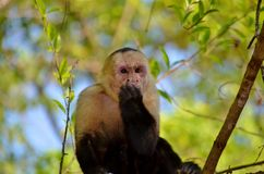 Macaco branco da cara Imagens de Stock Royalty Free