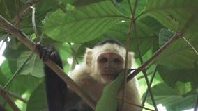 Macaco branco da cara que olha à câmera no movimento lento super filme