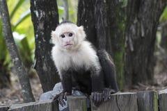 macaco Branco-dirigido do Capuchin Imagem de Stock