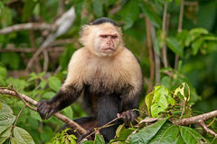 Macaco branco do Capuchin da face Imagens de Stock