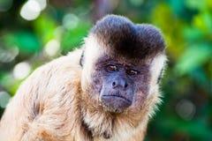 Macaco brasileiro triste Fotografia de Stock Royalty Free