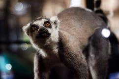 Macaco brincalhão do lêmure Fotografia de Stock
