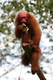 Macaco calvo de Uakari fotos de stock royalty free