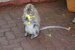 Macaco che mangia una banana Immagini Stock Libere da Diritti