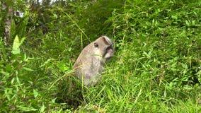Macaco cinzento animal da vida selvagem tropical bonito da floresta da selva que alimenta comendo as folhas da planta verde e boc filme