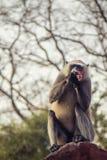 Macaco cinzento do Langur fotografia de stock