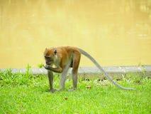Macaco a coda lunga, Granchio-mangiante macaco immagini stock