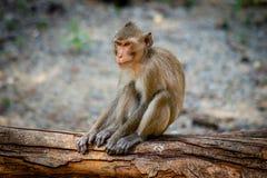 Macaco a coda lunga, in Tailandia, Saraburi un santuario di fauna selvatica, Immagini Stock