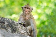 Macaco a coda lunga, in Tailandia, Saraburi un santuario di fauna selvatica, Immagine Stock Libera da Diritti