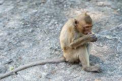 Macaco a coda lunga, in Tailandia, Saraburi un santuario di fauna selvatica, Fotografia Stock