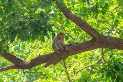 Macaco a coda lunga, in Tailandia, Saraburi un santuario di fauna selvatica, Fotografie Stock Libere da Diritti
