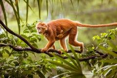 Macaco com bebê Imagem de Stock Royalty Free