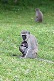 Macaco com jovens Fotos de Stock Royalty Free