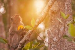 Macaco com laranja Foto de Stock Royalty Free