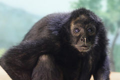 Macaco com olhos azuis Fotografia de Stock