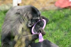 Macaco consciente do auto fotografia de stock royalty free