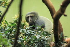 macaco Coruja-enfrentado Fotos de Stock