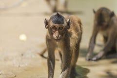 Macaco curiosamente de rastejamento fotografia de stock