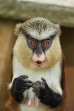 Macaco curioso Imagens de Stock Royalty Free