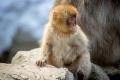 Macaco curioso do bebê Foto de Stock