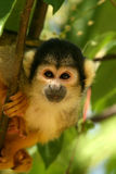 Macaco curioso que olha o fotos de stock