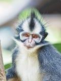 Macaco da folha de Thomas fotografia de stock
