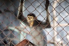 Macaco da folha, Douc vermelho-shanked (nemaeus de Pygathrix) na gaiola Fotografia de Stock Royalty Free
