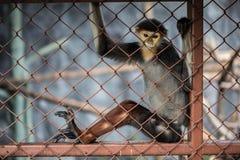Macaco da folha, Douc vermelho-shanked (nemaeus de Pygathrix) na gaiola Imagens de Stock Royalty Free