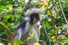 Macaco da ilha de Zanzibar imagens de stock