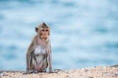 Macaco da mãe que senta-se na areia Fotos de Stock