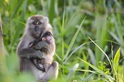 Macaco da matriz e do bebê fotos de stock royalty free