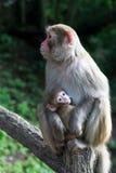 Macaco da matriz e do bebê Imagens de Stock Royalty Free