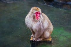 Macaco da neve Imagens de Stock Royalty Free