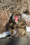 Macaco da neve Fotografia de Stock