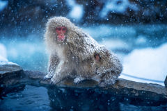 Macaco da neve Imagem de Stock