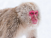 Macaco da neve Fotos de Stock Royalty Free
